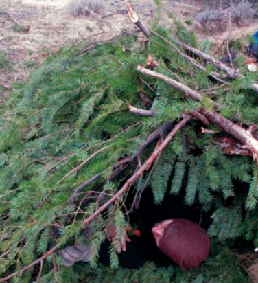 Author demonstrates how to make and insulate a pine-bough shelter during Randall's Adventure & Training class in mountains of California. Ground insulation is often overlooked by students, resulting in a cold and restless night.