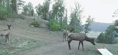 Taken from a trail camera placed along the course, elk have knocked over the checkpoint stand. And elk were not the only wildlife teams encountered during the course.