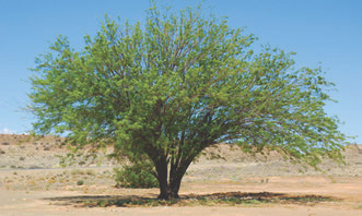 Lonely screw-bean Mesquite tree (Prosopis pubescens) stands in the desert. Native to the American Southwest, it can become invasive anywhere but supplies good food wherever it is. Photo: Dreamstime