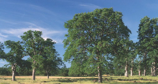 Stand of blue oak near Hog Lake, California is representative of various oak species, which range from plains to mountains and from deserts to swamps. They all provide acorns. Photo: © Mark W. Skinner @ USDA-NRCS PLANTS Database
