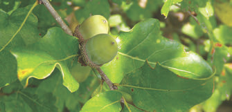 Classic acorn of the ubiquitous oak. These photographed in Texas represent food for all. Photo: Benjamin Bruce, via Wikipedia