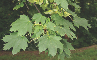 Attractive cut leaf of maple makes it easy to identify. Various species worldwide all make syrup like this Norway maple—but some, such as the sugar maple, are better than others. Photo: Jean-Pol Grandmont, via Wikipedia