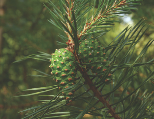 There are over 100 species of pine, like this Scotch pine photographed in Poland. The predominant pine of northern Europe, its inner bark has fed millions of people for thousands of years. All pine phloem is edible, as are sprouts and flowers and seeds, some of which form a decent-sized nut. Photo: Plepl2000, via Wikipedia
